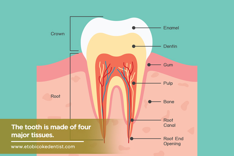 The tooth is made of four major tissues.